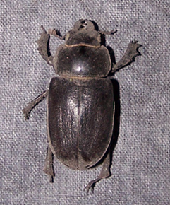 This is the real beetle I found, almost 1 1/2 inches long--looking a bit dusty after a few years!