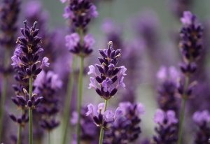 Lavender in a Fairy Garden